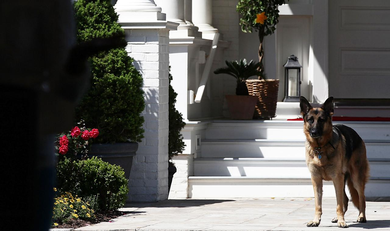 Vice President Joe Biden's dog, Champ, stands during speechs during a Joining Forces service event at the Vice President's residence at the Naval Observatory May 10, 2012 in Washington, DC. U.S. first lady Michelle Obama and Biden joined with Congressional spouses to assemble Mother's Day packages that deployed troops have requested to be sent to their mothers and wives at home.  (Photo by Win McNamee/Getty Images)