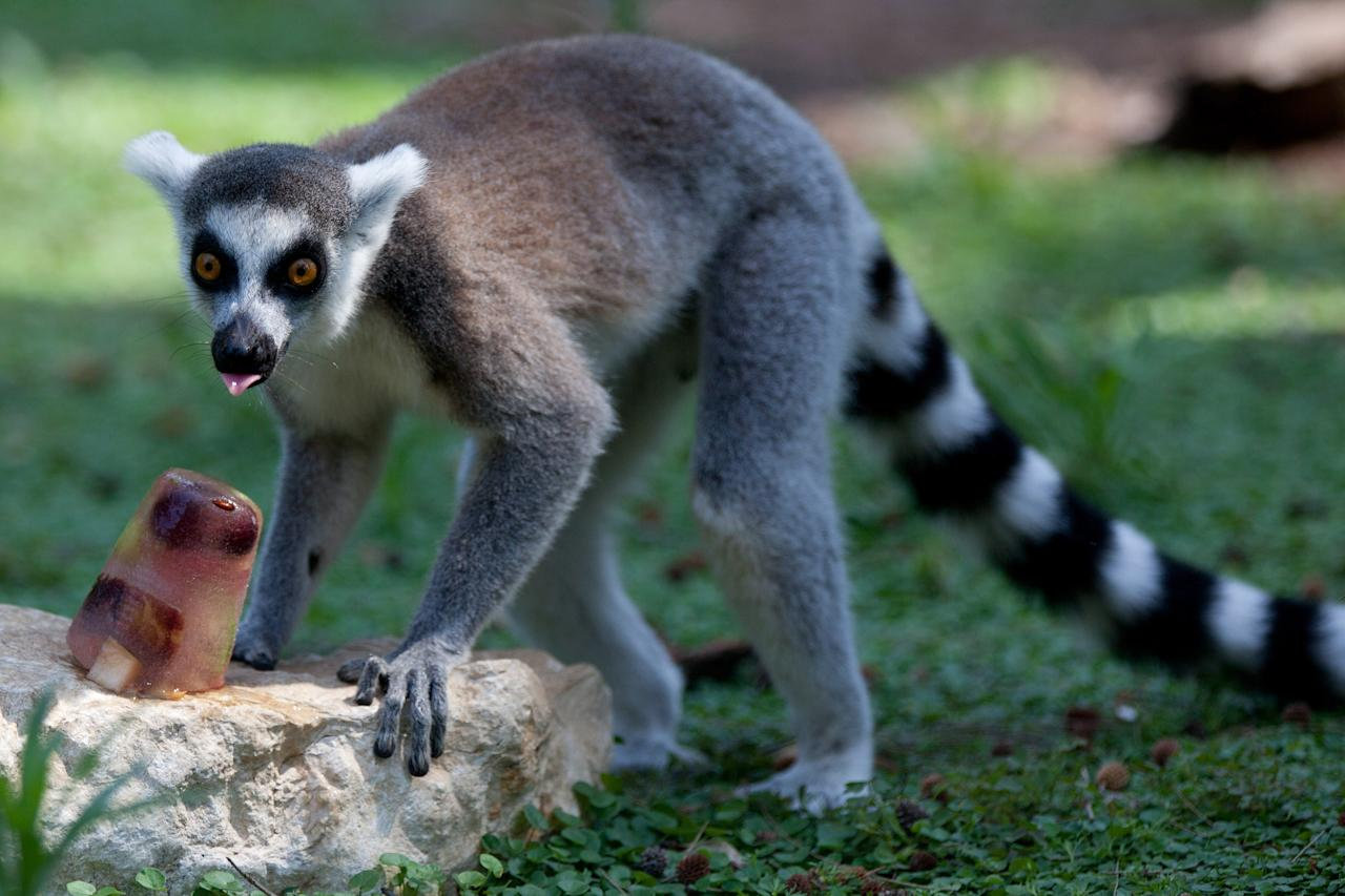 RAMAT GAN, ISRAEL - JULY 12:  A ring tailed lemur licks an ice block with frozen fruit to help them cool off at the Ramat Gan Safari Zoo on July 12, 2012 in Ramat Gan, near Tel Aviv, Israel. Temperatures reached a high of 34 Celsius (93 degrees Fahrenheit) in Tel Aviv.   (Photo by Uriel Sinai/Getty Images)
