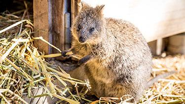 Stolen quokka returned to Adelaide Zoo