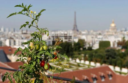 FILE PHOTO:A tomato plant is seen in a planter box on the rooftop of the Bon Marche store in Paris, France, August 26, 2016. REUTERS/Regis Duvignau/File Photo