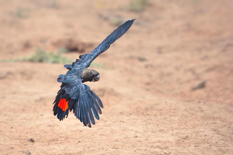 A rare, wild glossy black cockatoo (<i>Calyptorhynchus lathami lathami</i>) in flight in New South Wales. (Photo: Kristian Bell via Getty Images)