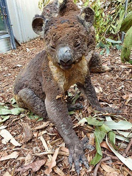PHOTO: A rescued koala injured in a bush fire on Kangaroo Island, South Australia, being cared for at the Kangaroo Island Wildlife Park in early January 2020. (Dana Mitchell/Kangaroo Island Wildlife Park via AP)
