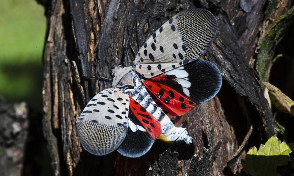 The spotted lanternfly is not native to the US and can cause damage to trees and agricultural crops.
