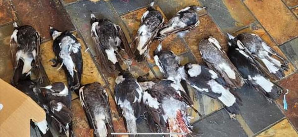 The bodies of at least 30 magpies have been collected in Sydney by animal rescuers. Source: WIRES