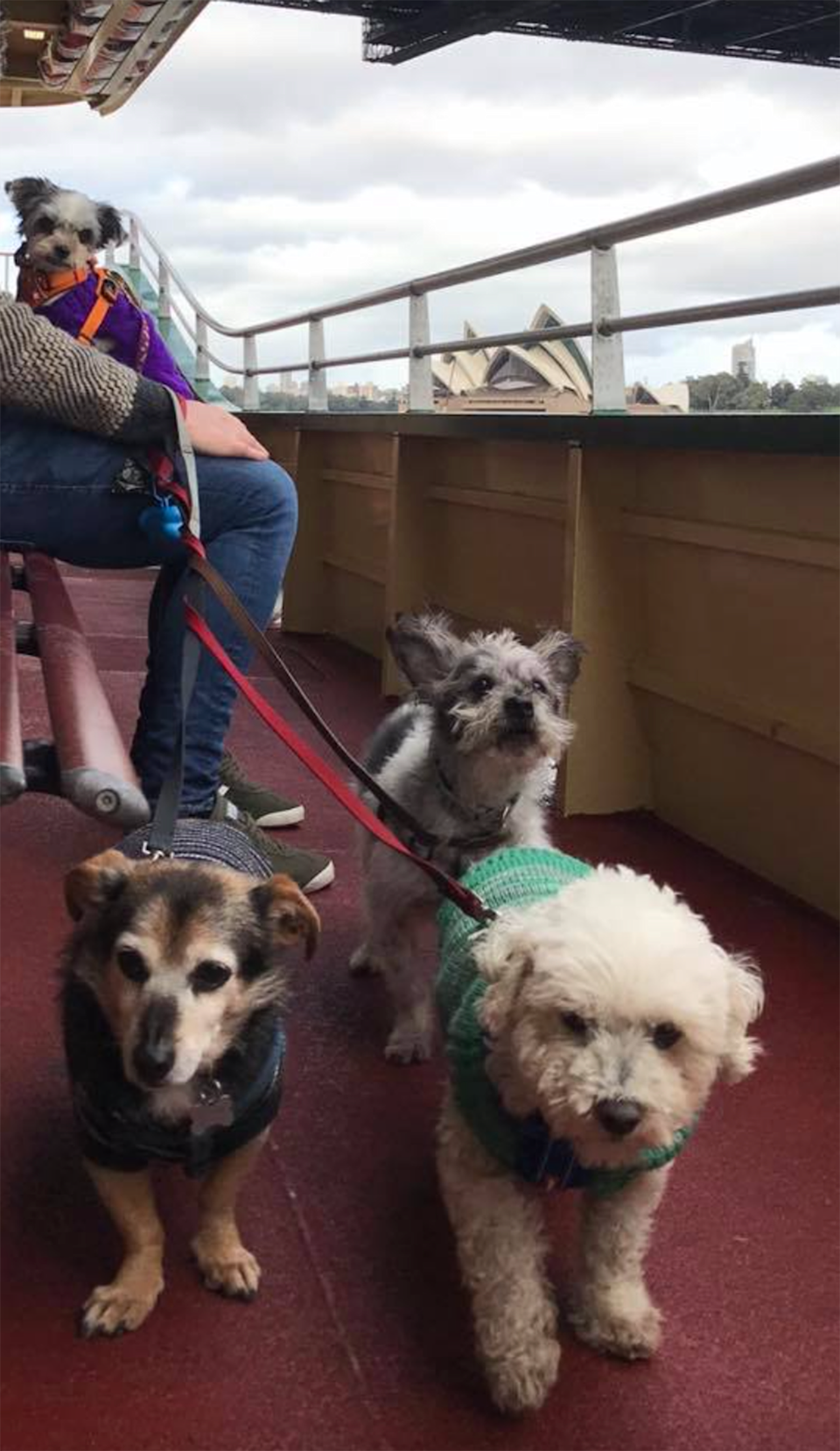 A person holds four dogs on leashes on a Sydney ferry, with the Sydney Opera House in the background.