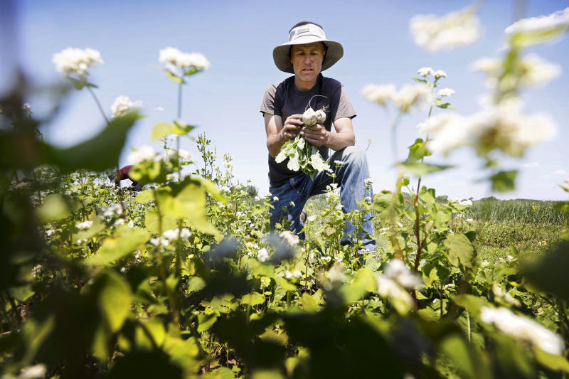 In this Monday, June 10, 2019 photo, Andrew Dunham harvests Hakurei turnips on his 80-acre organic farm, in Grinnell, Iowa. Like farmers throughout the Midwest, torrential spring rains turned Dunham's land into sticky muck that wouldn't let him plant crops this spring. But unlike other farmers, Dunham won't get a piece of a $16 billion aid package to offset his losses, and he can't fall back on federally subsidized crop insurance because Dunham grows herbs, flowers and dozens of vegetable varieties but not the region's dominant crops of corn and soybeans. (AP Photo/Charlie Neibergall)