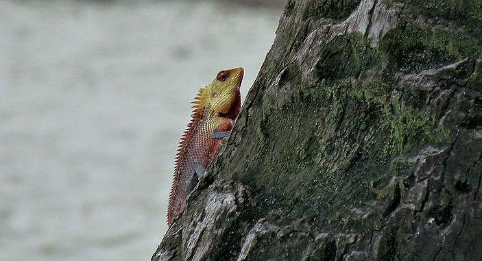 The islands are so far-flung that they have no large natural predators. But if you're fascinated by dragons, there is this chap – the Calotes lizard. Wearing his bright yellow and orange suit, he looked around for a female to impress. Trust me, he wasn't interested in the ones in bikinis.