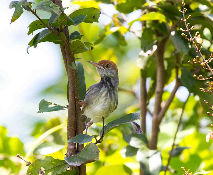 A male Cambodian tailorbird, which scientists say is a new bird species unique to Cambodia discovered in Phnom Penh, is seen in an undated photo provided by the Wildlife Conservation Society. A statement released Wednesday, June 26, 2013 by the New York-based Wildlife Conservation Society said the wren-sized Cambodian tailorbird lives in dense, humid lowland scrub in Phnom Penh and other locations just outside the city. (AP Photo/Wildlife Conservation Society, Ashish John)