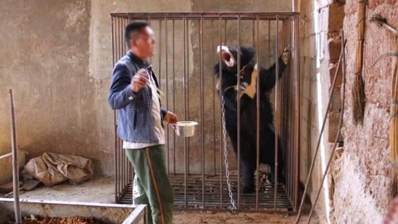 Chinese man thinks Asian black bear cub is a puppy and raises it as a family pet