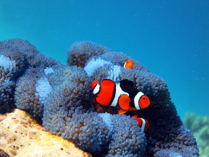 Clown fish are seen swimming through blue anemone at the Funnel. Source: Dive Planit