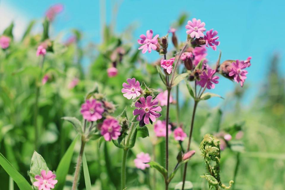 """<p>This dainty native wildflower with rose-pink flowers is a real garden favourite — and one the bees will love, too. </p><p>""""Long-tongued bees are the pollinators for the Red Campion, as the bloom has long tubes with nectar at the base. However, cheeky short-tongued bees often nip a hole in the base of the bloom to steal the nectar from the bottom.""""</p><p><a class=""""link rapid-noclick-resp"""" href=""""https://go.redirectingat.com?id=127X1599956&url=https%3A%2F%2Fwww.crocus.co.uk%2Fplants%2F_%2Fsilene-dioica%2Fclassid.1000000965%2F&sref=https%3A%2F%2Fwww.countryliving.com%2Fuk%2Fhomes-interiors%2Fgardens%2Fg35975865%2Fbee-friendly-wildflowers%2F"""" rel=""""nofollow noopener"""" target=""""_blank"""" data-ylk=""""slk:BUY RED CAMPION"""">BUY RED CAMPION</a></p><p><strong>Like this article? <a href=""""https://hearst.emsecure.net/optiext/cr.aspx?ID=zsATrj4qAwL7PXfHOfbti0xjie5wOfecvOt8e1A3WvL5x0TsMrTgu8waUpN%2BcCNsV3wq_zCaFTleze"""" rel=""""nofollow noopener"""" target=""""_blank"""" data-ylk=""""slk:Sign up to our newsletter"""" class=""""link rapid-noclick-resp"""">Sign up to our newsletter </a>to get more articles like this delivered straight to your inbox.</strong></p><p><a class=""""link rapid-noclick-resp"""" href=""""https://hearst.emsecure.net/optiext/cr.aspx?ID=zsATrj4qAwL7PXfHOfbti0xjie5wOfecvOt8e1A3WvL5x0TsMrTgu8waUpN%2BcCNsV3wq_zCaFTleze"""" rel=""""nofollow noopener"""" target=""""_blank"""" data-ylk=""""slk:SIGN UP"""">SIGN UP</a></p><p><strong>Looking for some positivity? Get </strong><strong>Country Living</strong><strong> magazine posted through your letterbox every month. </strong></p><p><a class=""""link rapid-noclick-resp"""" href=""""https://go.redirectingat.com?id=127X1599956&url=https%3A%2F%2Fwww.hearstmagazines.co.uk%2Fcl%2Fcountry-living-magazine-subscription-website&sref=https%3A%2F%2Fwww.countryliving.com%2Fuk%2Fhomes-interiors%2Fgardens%2Fg35975865%2Fbee-friendly-wildflowers%2F"""" rel=""""nofollow noopener"""" target=""""_blank"""" data-ylk=""""slk:SUBSCRIBE NOW"""">SUBSCRIBE NOW</a></p>"""