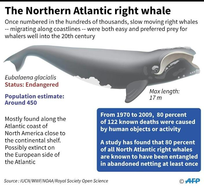 Factfile on the endangered North Atlantic right whale. (AFP Photo/Gal ROMA)