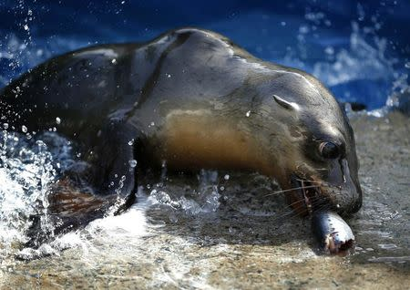 A rescued California sea lion pup enjoys a fish during feeding time at Sea World San Diego in San Diego, California January 28, 2015. REUTERS/Mike Blake