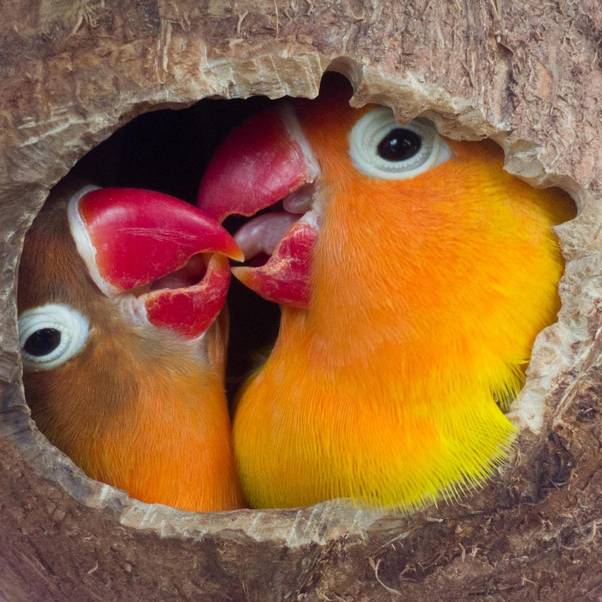 two lovebirds are in a nest made of coconut shells