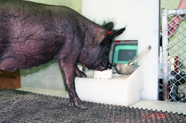 Ebony the pig gets into the game.