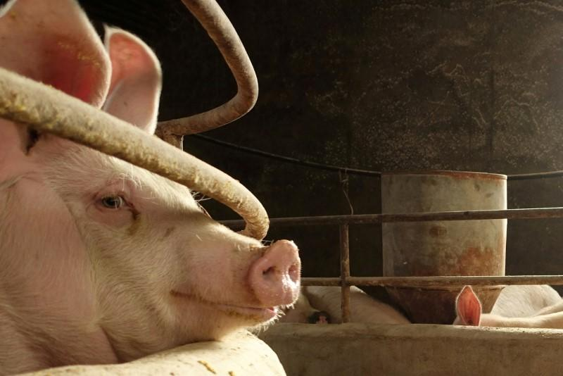 FILE PHOTO: Pig is seen on the farm of pig farmer Han Yi at a village in Changtu