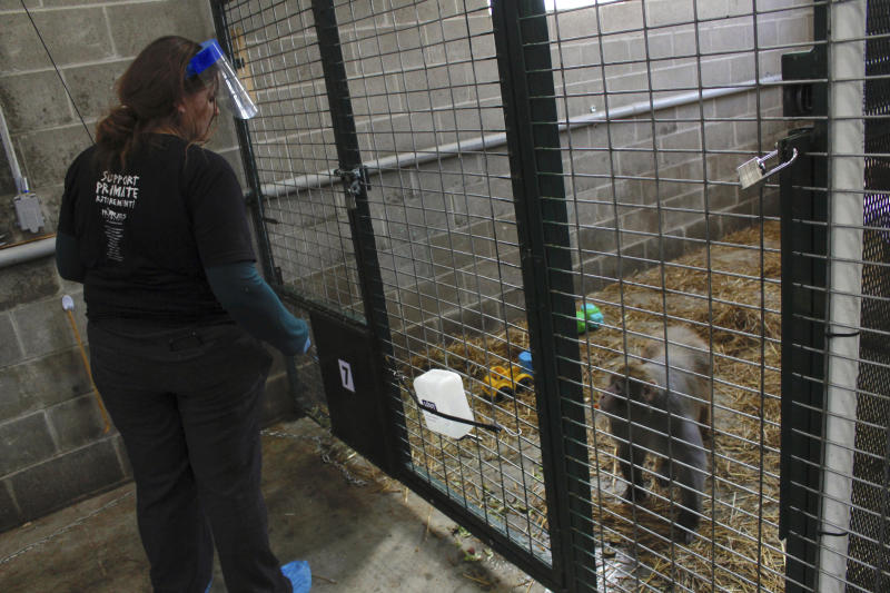 In this May 13, 2019, photo, Amy Kerwin feeds Mars at Primates Inc., in Westfield, Wis. Kerwin started the sanctuary, which took its first monkeys in 2018. More research labs are retiring primates to sanctuaries like Primates Inc., a 17-acre rural compound in central Wisconsin, where they can live their remaining years after research studies are done, according to sanctuaries and researchers. (AP Photo/Carrie Antlfinger)