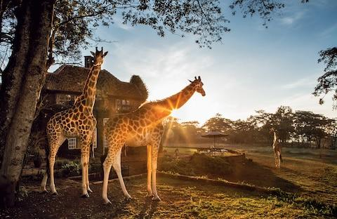 The giraffes at sunrise - Credit: Robin Moore