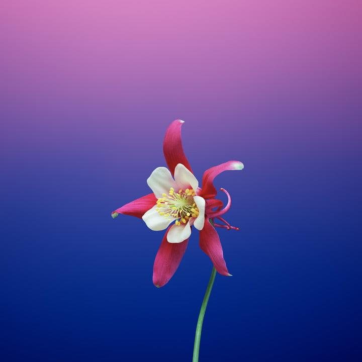 ios 11 wallpapers flower aquilegia