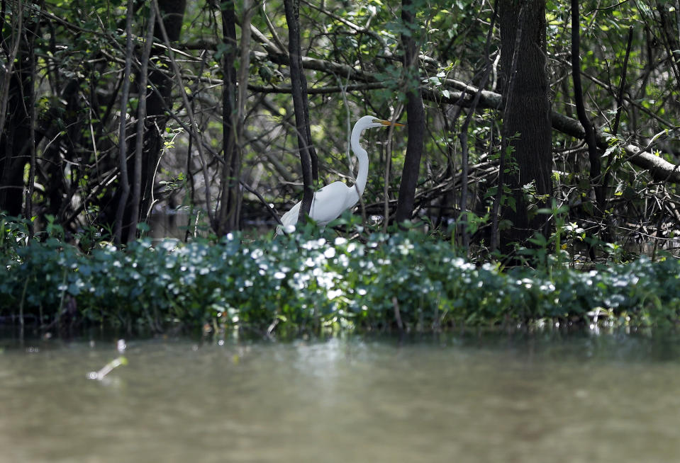 FILE - In this April 27, 2018 file photo, a great white heron appears through trees on Bayou Sorrel in the Atchafalaya River Basin in La. A federal judge says demonstrators and a journalist may continue their challenge of a Louisiana law making it a felony to trespass in the area of a pipeline through the Louisiana swamp. Activists said they had landowners' permission to protest on the land in the environmentally sensitive Atchafalaya Basin and have described the state law as part of a larger effort against environmental activism. (AP Photo/Gerald Herbert, File)