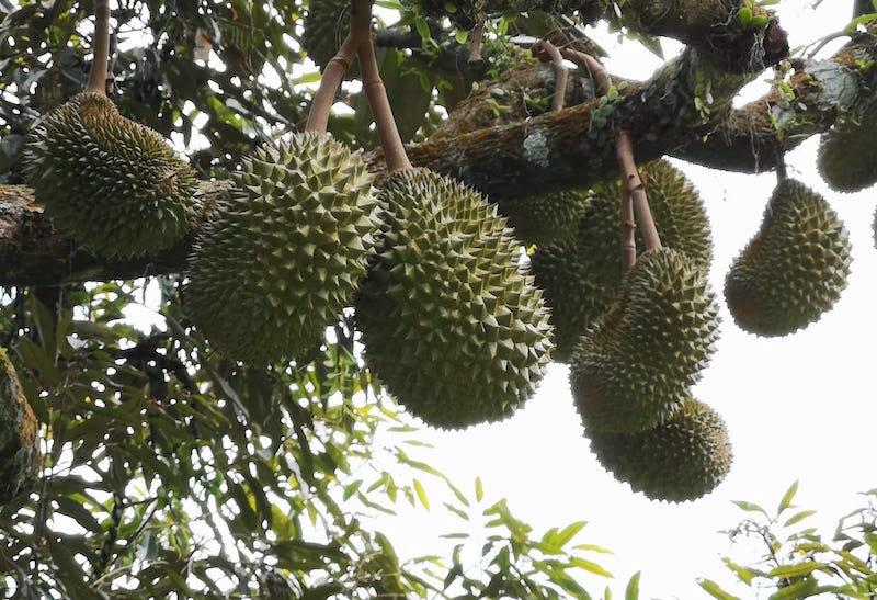 Durians on Fook Gor Durian Farm. Photo: 99 Old Trees