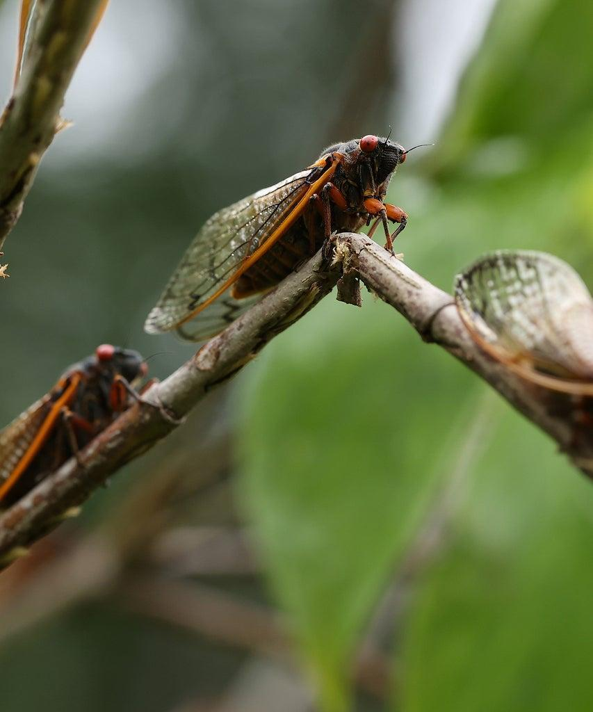 COLUMBIA, MD – JUNE 03: Periodical cicadas, members of Brood X, climb on a small tree branch that broke after being weakened by cicadas laying their eggs under the bark on June 03, 2021 in Columbia, Maryland. Billions of Magicicada periodical cicadas are emerging from the soil in the eastern United States and Midwest to molt, mate, lay eggs and die after living underground for 17 years. (Photo by Chip Somodevilla/Getty Images)