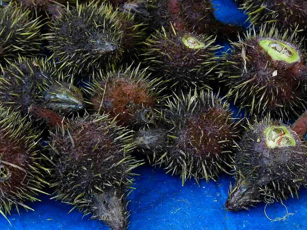 Thangjing is a water plant with a spiky rind. The seeds or nuts inside are eaten with morokmetpa, a paste of fiery chillies mashed with small fermented fish called ngari.