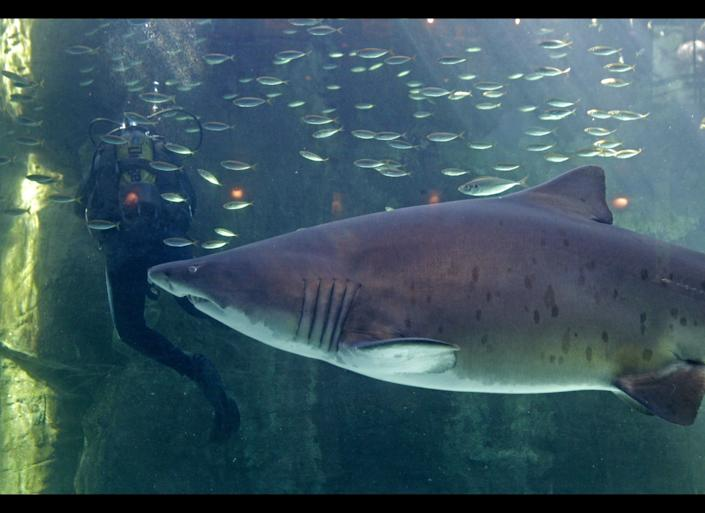 A shark swim inside a fish tank as a diver, left, cleans the glass at the Two Oceans Aquarium in Cape Town, South Africa, Wednesday, Aug 31, 2011. The Two Oceans Aquarium hosts group activities for school children and students which include the identification and observation of fish and other species. (AP Photo/Schalk van Zuydam)