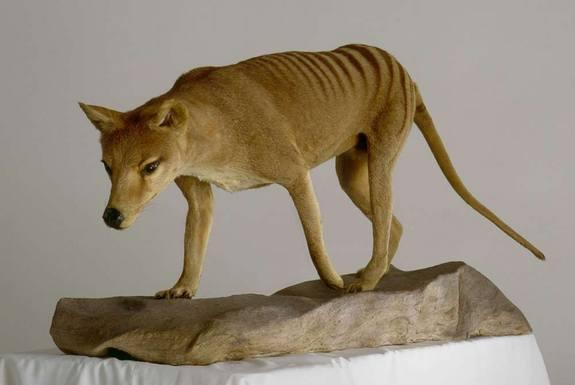 A mounted, extinct thylacine that is currently traveling with the American Museum of Natural History's Extreme Mammals exhibition. This large carnivorous marsupial is also called a Tasmanian wolf or tiger.