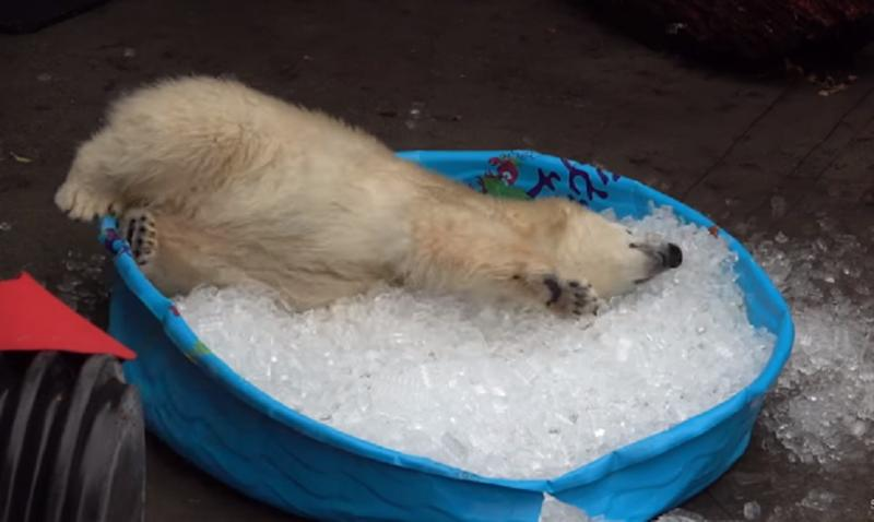 This baby polar bear enjoying an ice bath will hit you right in the ...