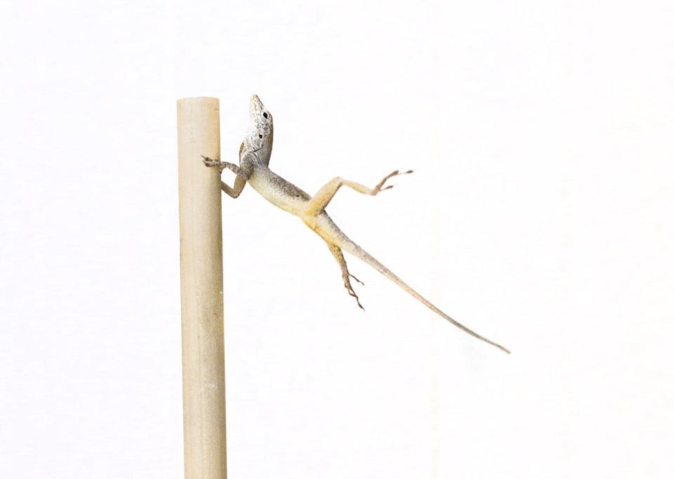 Why did lizards suddenly develop larger toes? Blame it on hurricanes.