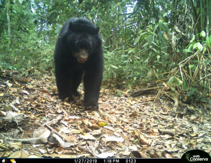 An Andean bear is photographed by a camera trap set up by the WebConserva Foundation in San Lucas