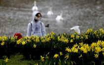 A pedestrian wearing a face covering due to the Covid-19 pandemic walks past blooming daffodils in a park in London, Friday, Feb. 19, 2021 as the lockdown in Britain continues. Britain has given a first vaccine shot to over 15 million people, almost a quarter of the population.(AP Photo/Frank Augstein)