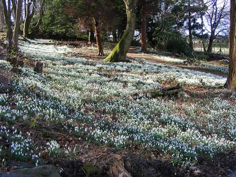Chirk Castle snowdrops - Credit: national trust