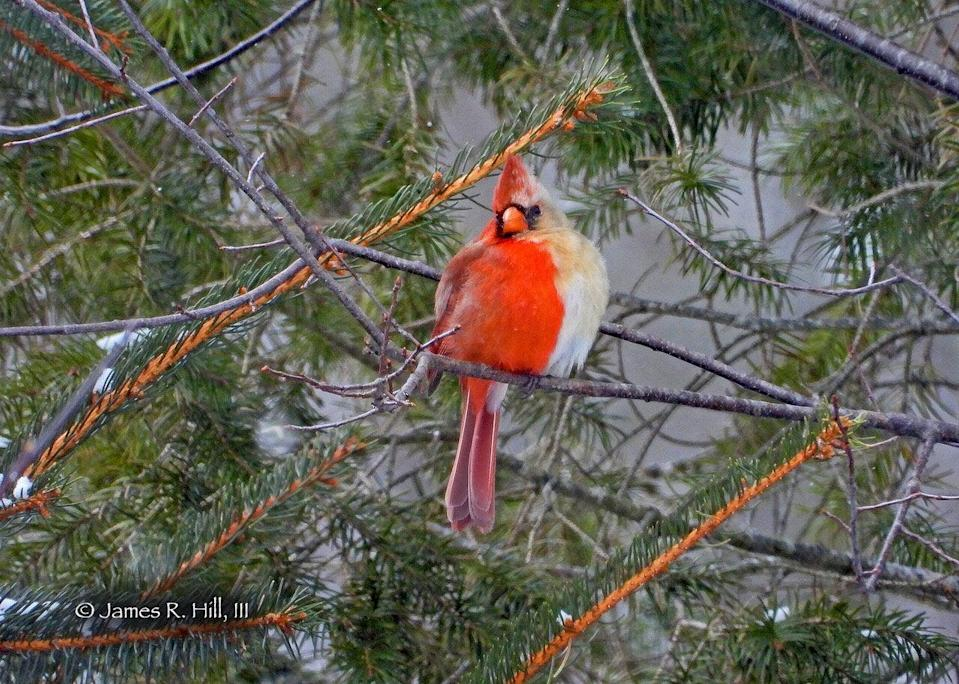 The rare half-male, half-female Northern Cardinal was spotted by birth-watcher Jamie Hill in Pennsylvania on February 20 (Jamie Hill)