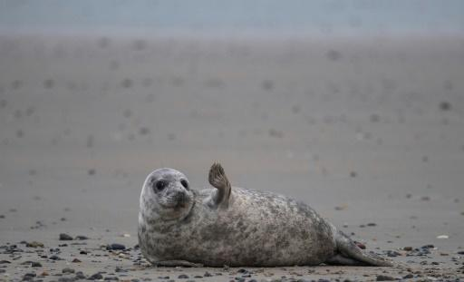 Grey seals come to Helgoland island in the North Sea to give birth