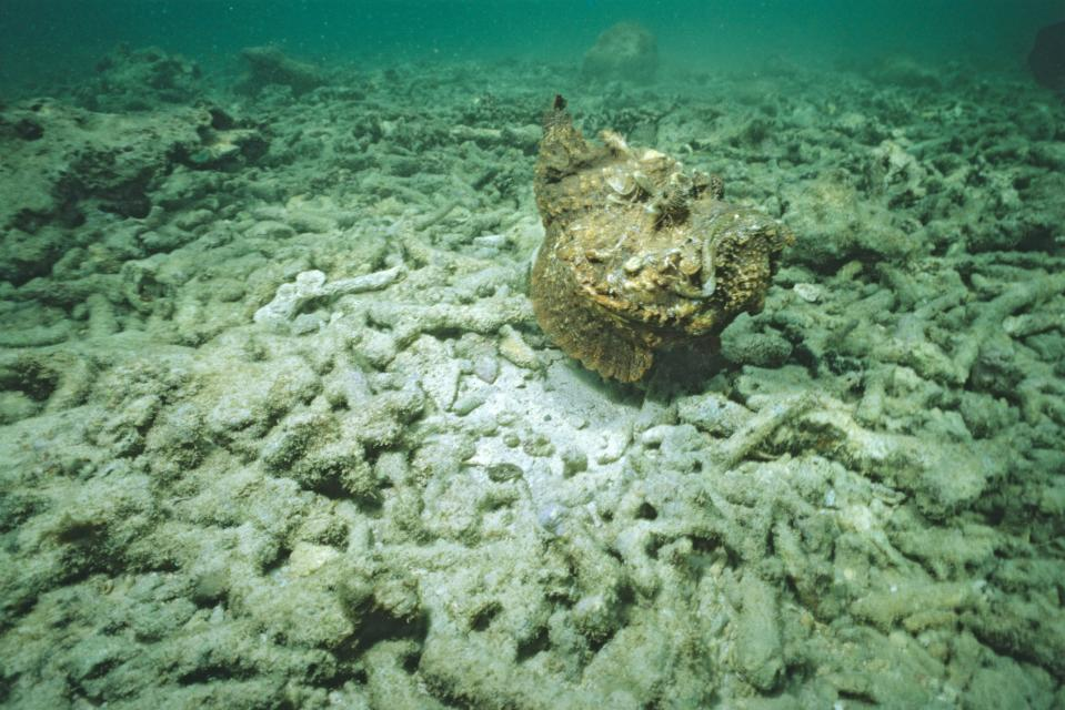 The stonefish, found on the north coast of Australia is world's most venomous fish. Source:  Auscape/Universal Images Group via Getty Images