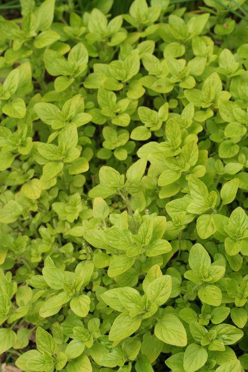 <p>Marjoram is another Mediterranean and Middle Eastern herb not dissimilar to oregano. It makes a lovely addition to savory, winter dishes.</p>