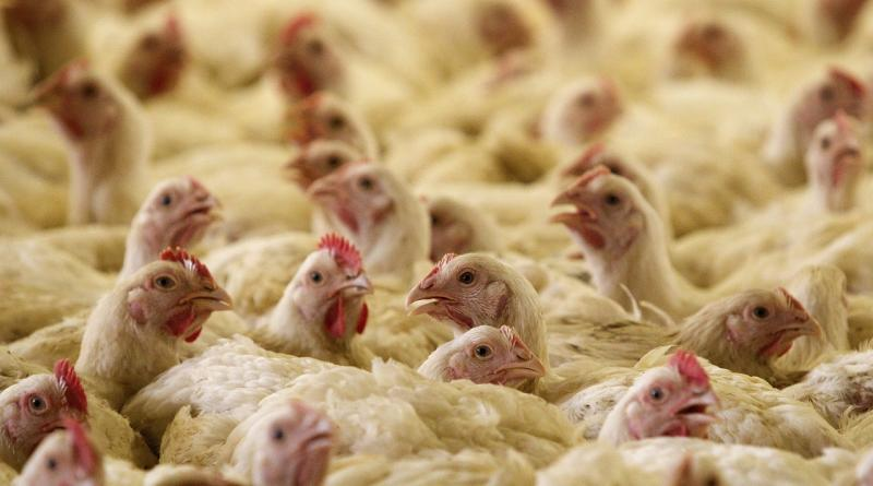 Chickens are seen in an aviary at a poultry farm in the village of Pesochnaia Buda, some 330 km (206 miles) southeast of Minsk, June 11, 2013. The farm produces 500,000 chicks per month and a yearly output of 11,000 tons of meat. Chicken meat is very popular among Belarusians due to its low price, compared to pork and beef, local media reported. REUTERS/Vasily Fedosenko (BELARUS - Tags: ANIMALS SOCIETY) - GM1E96B1RRL01