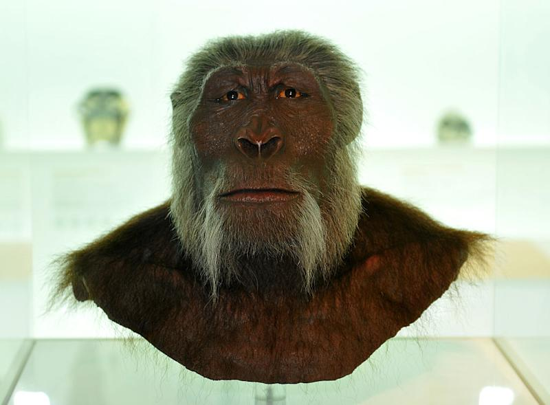 Switzerland Basel-Stadt Basel - Museum of Natural History, model of an early hominin Paranthropus Boisei - 09.10.2011 Image: Getty