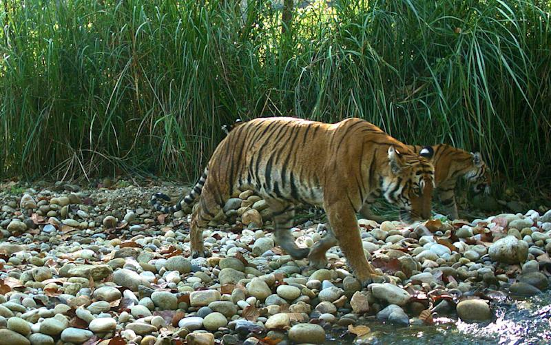 Nepal's success in turning tiger-fearing villagers into their protectors has seen none of the endangered cats killed for almost three years, offering key lessons for an anti-poaching summit opening shortly in Kathmandu (AFP Photo/)