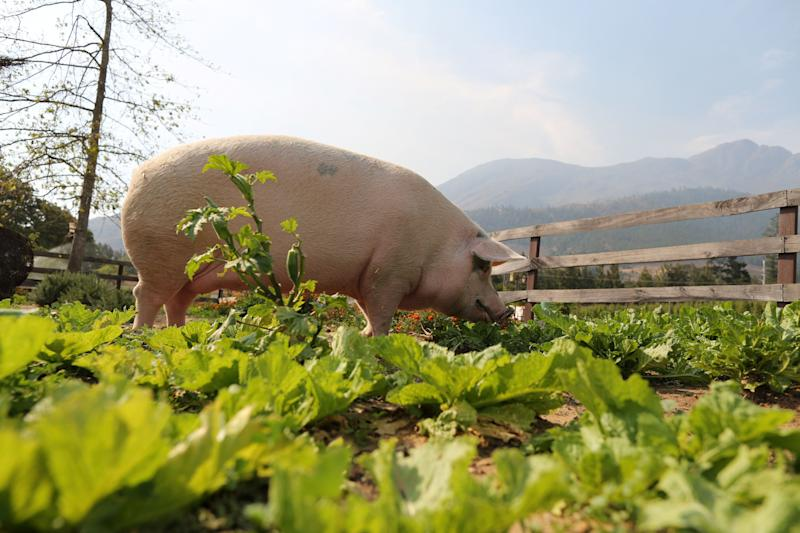 Pigcasso, a rescued pig, is seen in an organic vegetable garden after painting at the Farm Sanctuary in Franschhoek, outside Cape Town, South Africa. (Photo: Sumaya Hisham/Reuters)