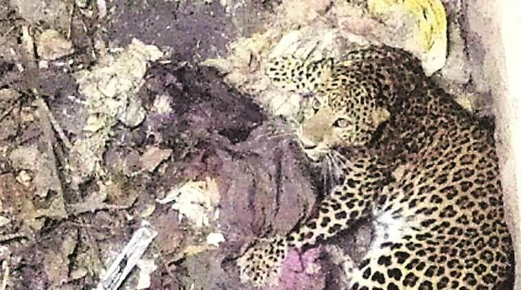 Maharashtra: Stuck in dry well for 6 hours, leopard, dog rescued