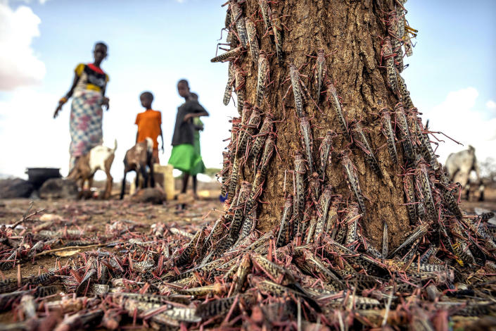 Image: Desert locusts swarm over a tree in Kenya on March 31. (Sven Torfinn / AP file)