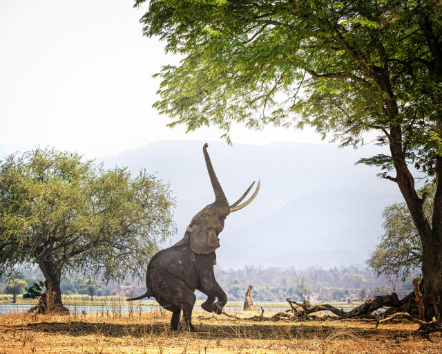A large African Elephant known as Boswell deftly stands on two feet as he reaches for the tall branches with his trunk at Mana Pools, Zimbabwe.