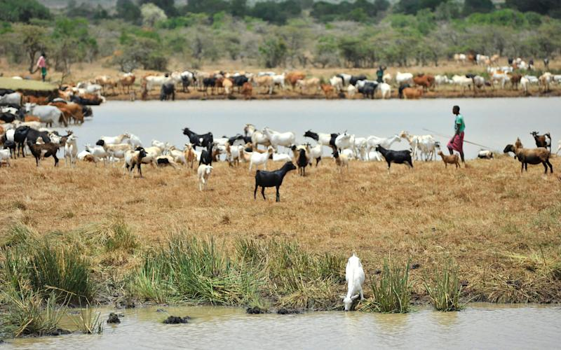 Herds of goats and cows introduced illegaly in Mugie ranch in Laikipia converge for dringing to a small dam in the property - Credit: Riccardo Gangale