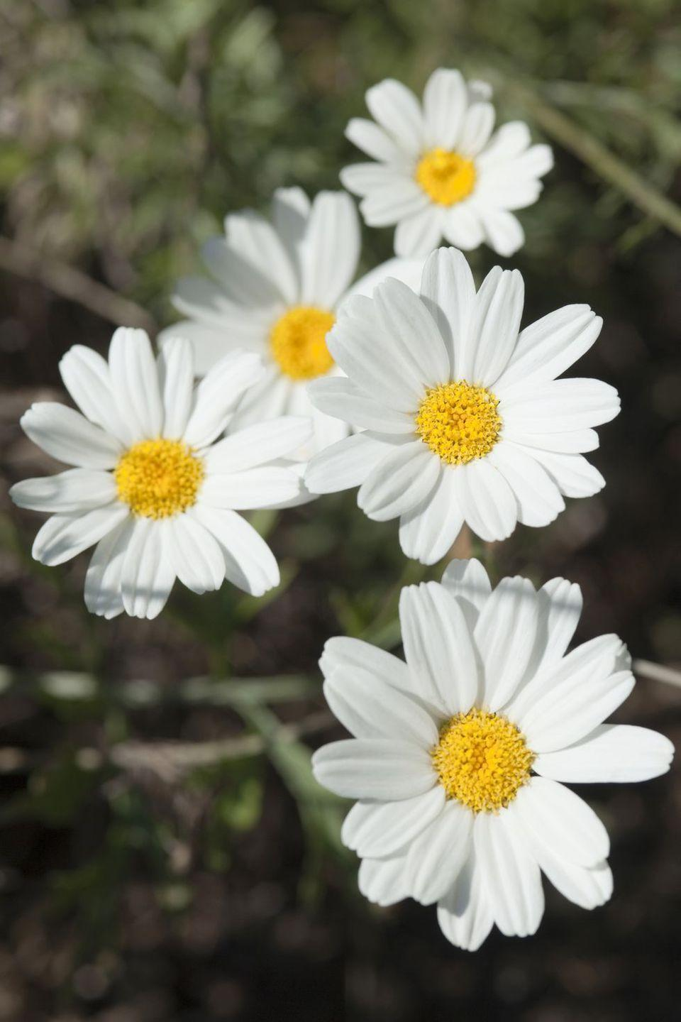 """<p>Though a symbol of rest and relaxation today (think: chamomile tea), this flower signified """"energy in adversity"""" in the 19th century. These days, maybe you can combine the two while enjoying your morning cup of tea and getting ready to face the day. </p>"""