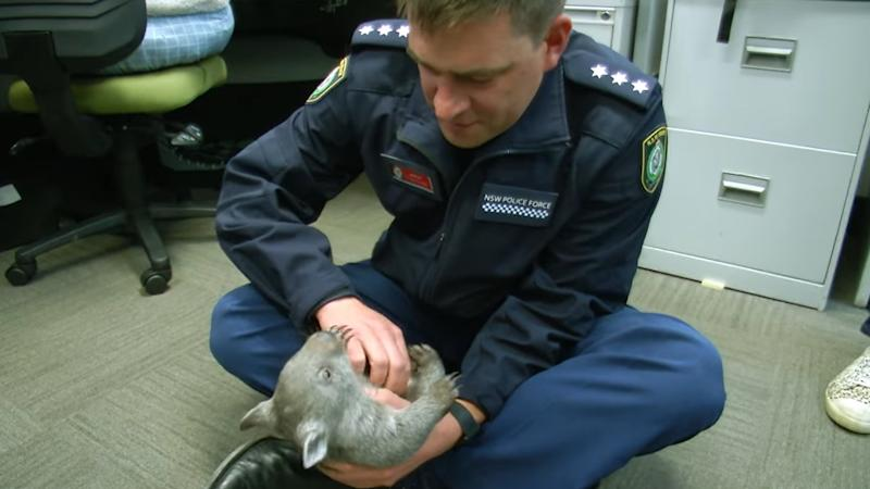 Baby wombat is new recruit at police station