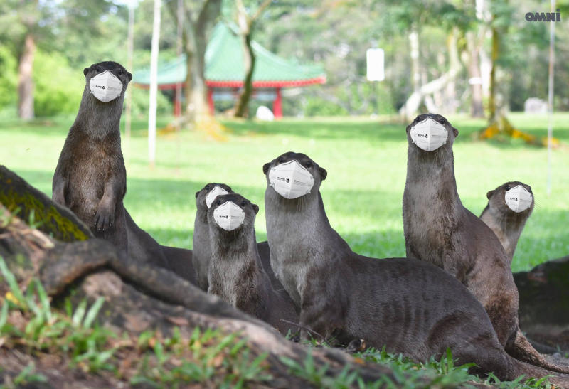 Otters in Singapore photoshopped to wear masks as haze enshrouds Singapore, Malaysia and Indonesia in September 2019. (Source: Facebook/Omni Channel)