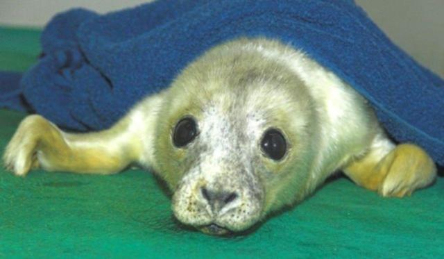 orphaned seal pup in Scotland